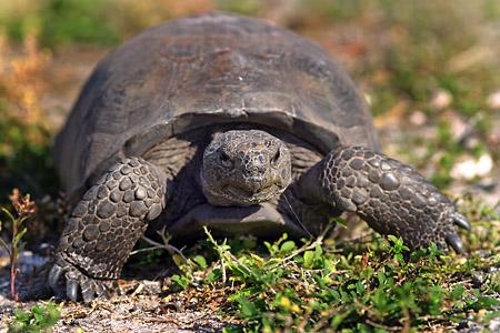 Loggerhead turtle at Barefoot Beach. Copyright Rick Bethem